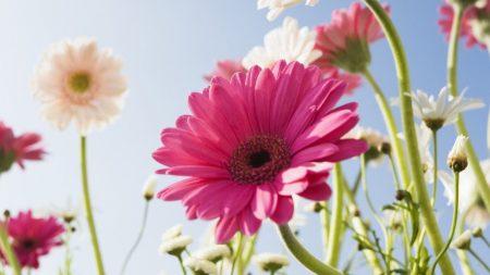 gerbera, flower, sky