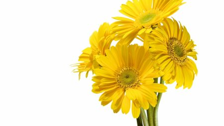 gerbera, flower, yellow