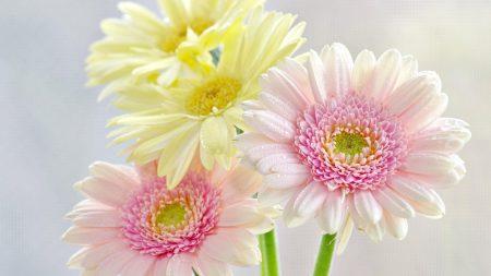 gerbera, flowers, bouquet