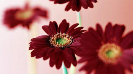 gerbera, flowers, bright