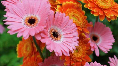 gerbera, flowers, focus