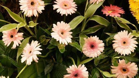 gerbera, flowers, leaves