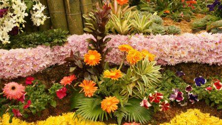 gerbera flowers, many, layout