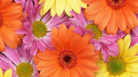 gerbera, flowers, petals