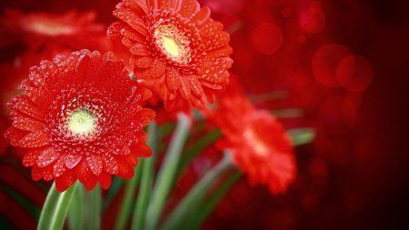 gerbera, flowers, red