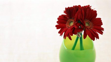 gerbera, flowers, three