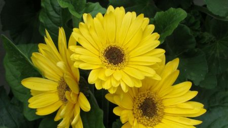 gerbera, flowers, yellow