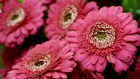 gerbera, red, petals