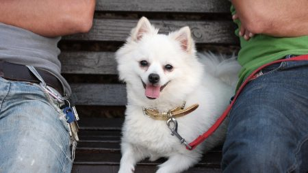 german spitz dog, muzzle, leash