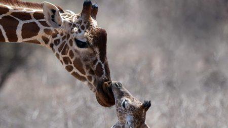 giraffe, cub, care