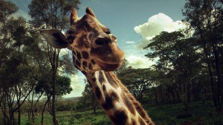 giraffe, face, grass