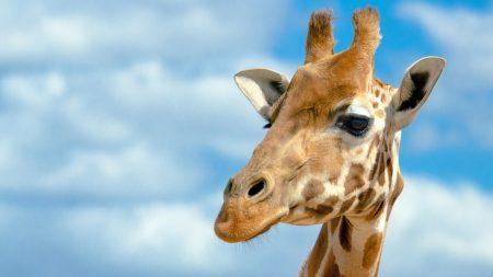 giraffe, head, sky