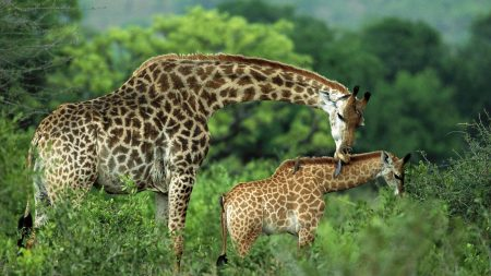 giraffes, couple, grass