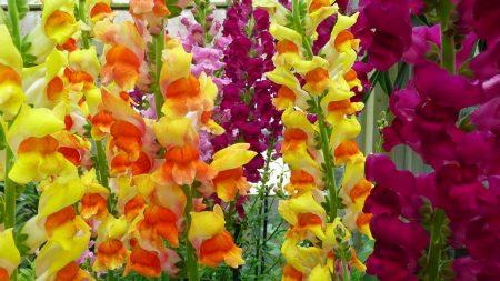 gladioli, flowers, garden