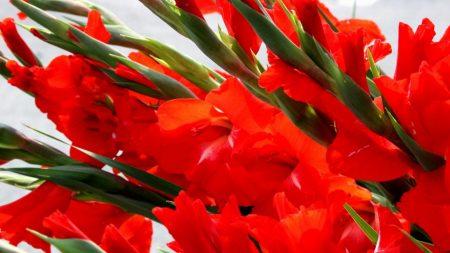 gladioli, red, flowers
