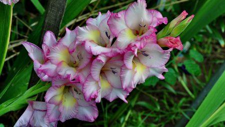 gladiolus, flower, green