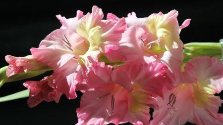 gladiolus, flower, pink