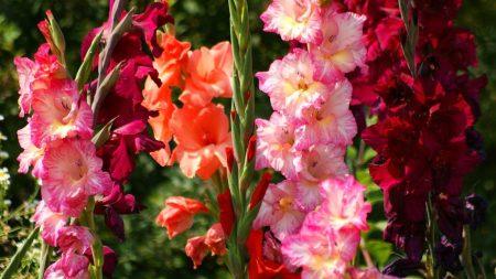 gladiolus, flowers, bright