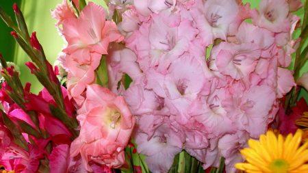 gladiolus, flowers, different