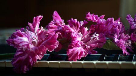 gladiolus, pink, piano