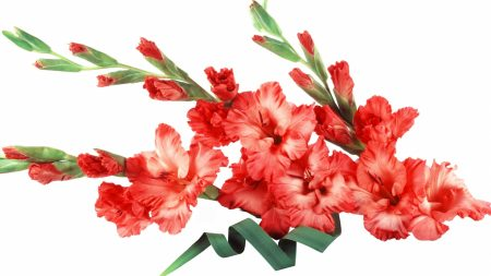 gladiolus, red, flowers