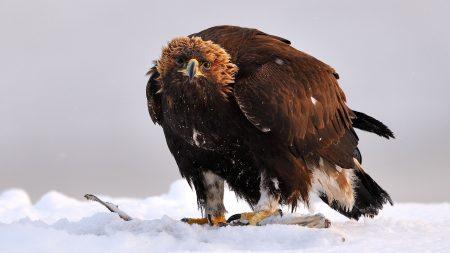 golden eagle, bird, predator
