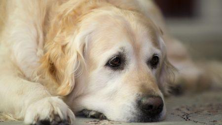 golden retriever, dog, muzzle