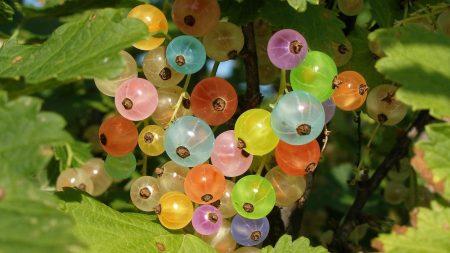 gooseberries, colorful, branch