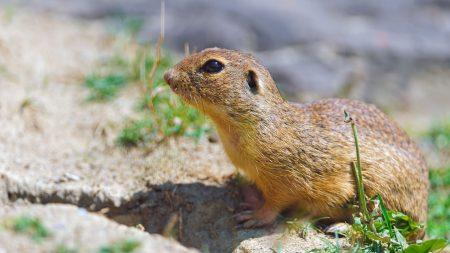 gopher, rodent, grass