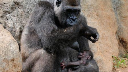 gorilla, cub, caring
