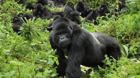 gorilla, grass, trees