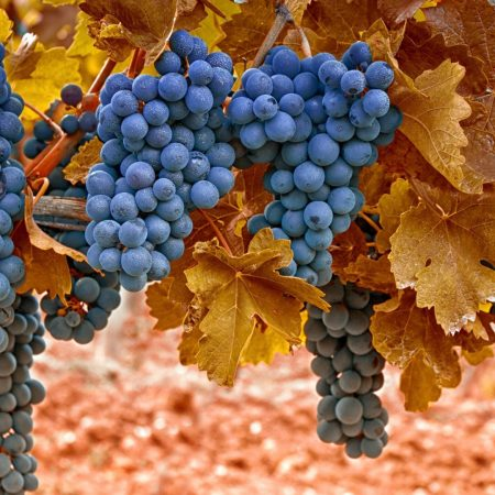 grapes, autumn, leaves