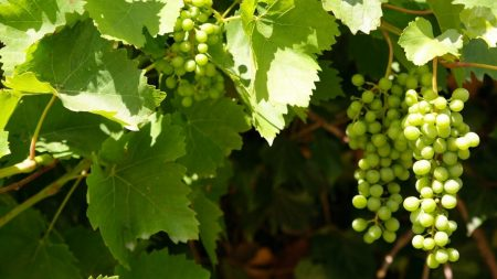 grapes, clusters, leaves