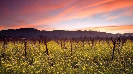 grapes, field, bushes