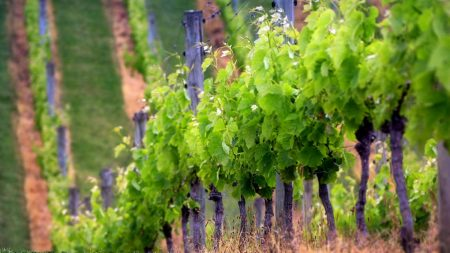 grapes, field, sprouts