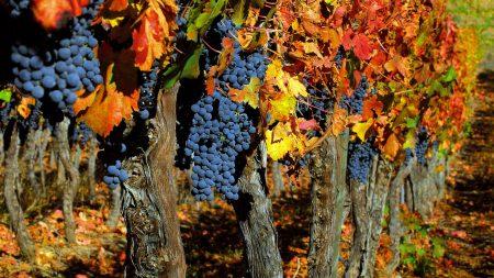 grapes, trees, crop