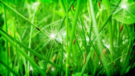 grass, leaves, dandelion
