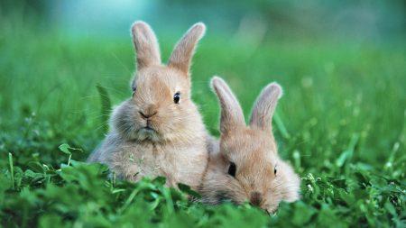 grass, rabbit, ears