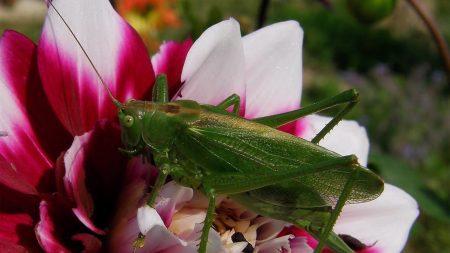 grasshopper, flower, sitting