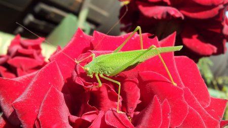 grasshopper, rose, petals