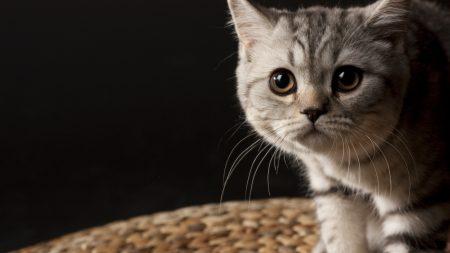 gray, frightened, cat
