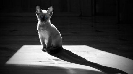 gray, kitten, white