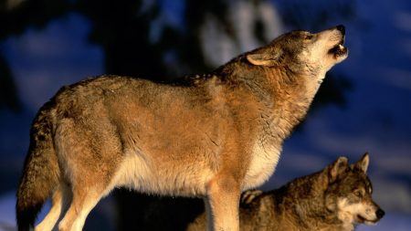 gray, wolf, howling