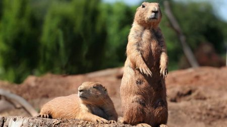 groundhog, marmot, forest