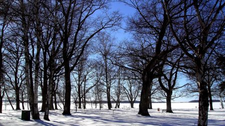 grove, trees, winter