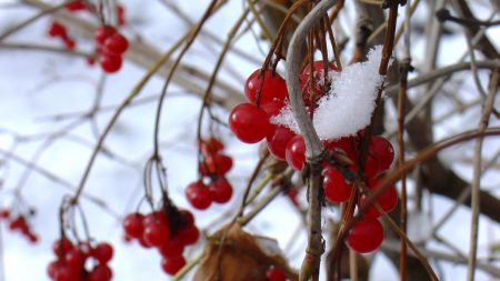 guelder-rose, berry, winter