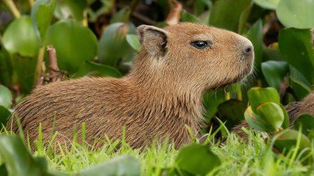 guinea pig, brown, grass