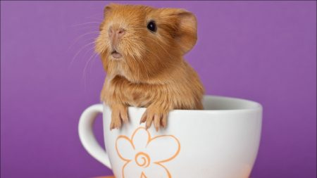 guinea pig, cup, sitting