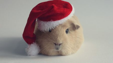 guinea pig, hat, new year