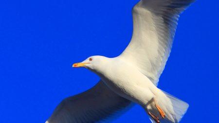 gull, bird, fly